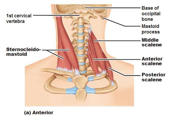 diagrama de musculos anteriores del cuello - Buscar con Google ...