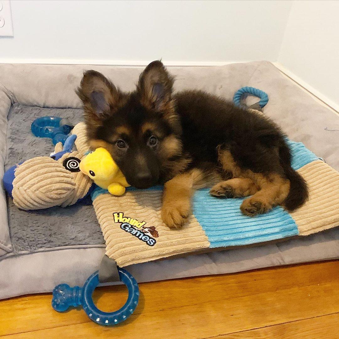 Instagram Chief Gsd Nj Germanshepherd Gsd Puppy Cute