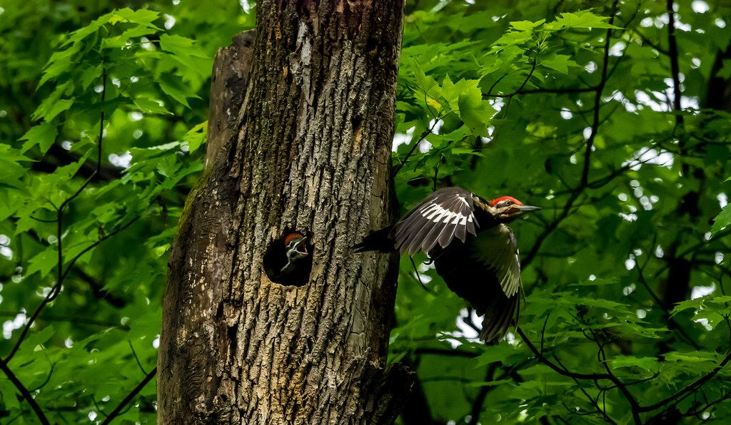 """""""Don't Leave Mom"""" Woodpeckers Photo by ©Mike Boening"""