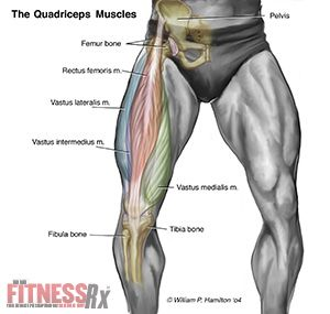 Quadriceps muscle | health | Pinterest | Muscles, Anatomy and Leg ...