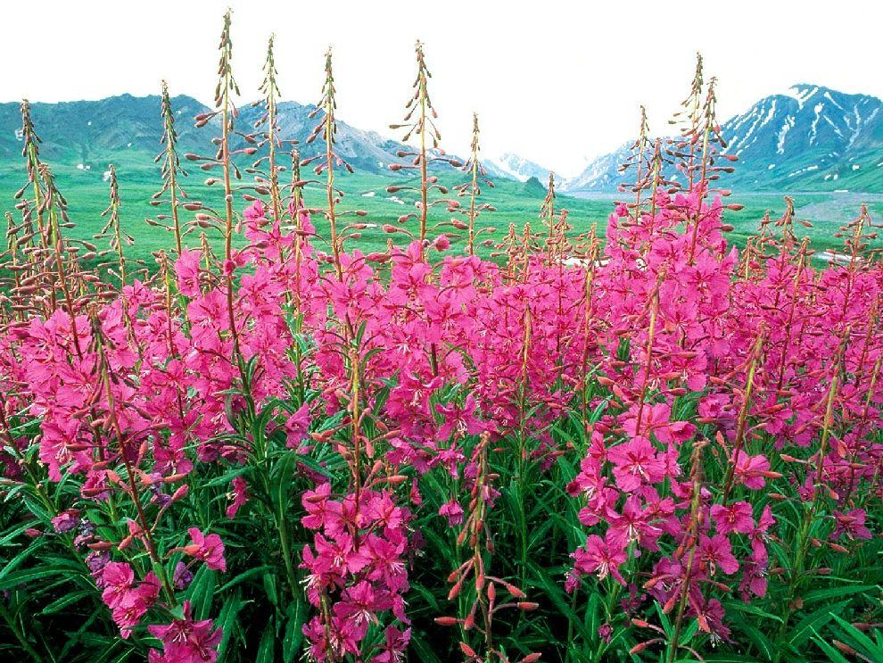 Красивый и полезный иван-чай или кипрей узколистный | Newpix.ru -  позитивный интернет-журнал | Цветок, Растения, Цветы
