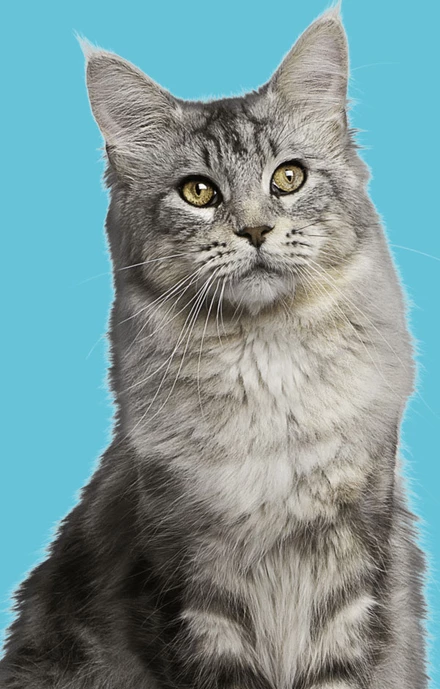 Cat Dementia A Very Real & Scary Health Condition Pet