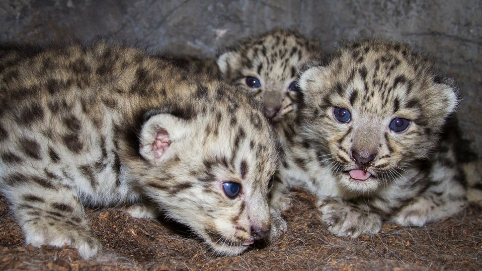 Watch these snow leopard cubs snuggle with their mom LIVE
