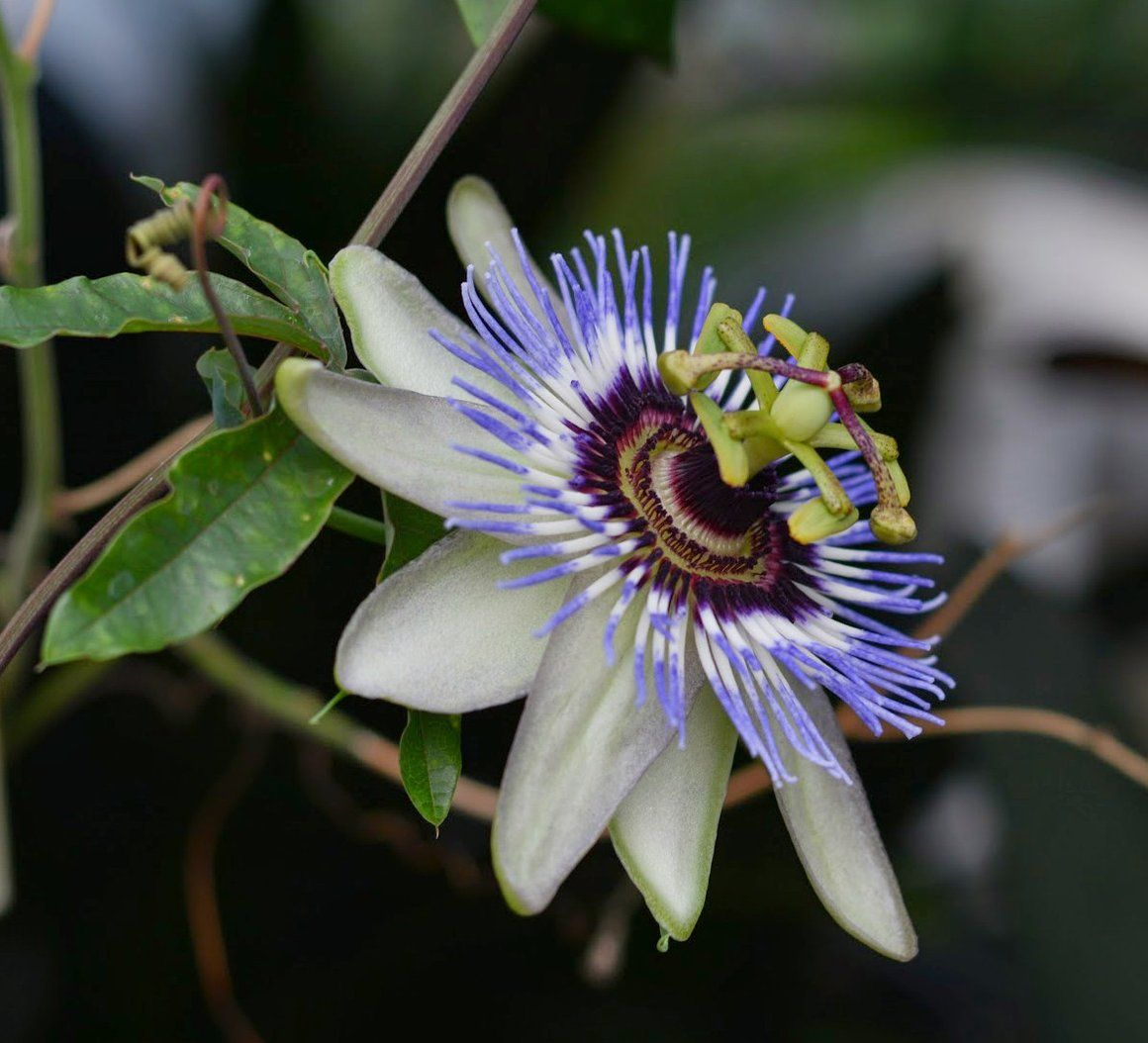 Passiflora Caerulea Clear Sky 4 Pot Passiflora Caerulea Passiflora Caerulea