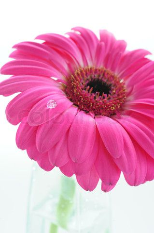 A drop of dew on a petal pink gerbera, stock photo on Colourbox