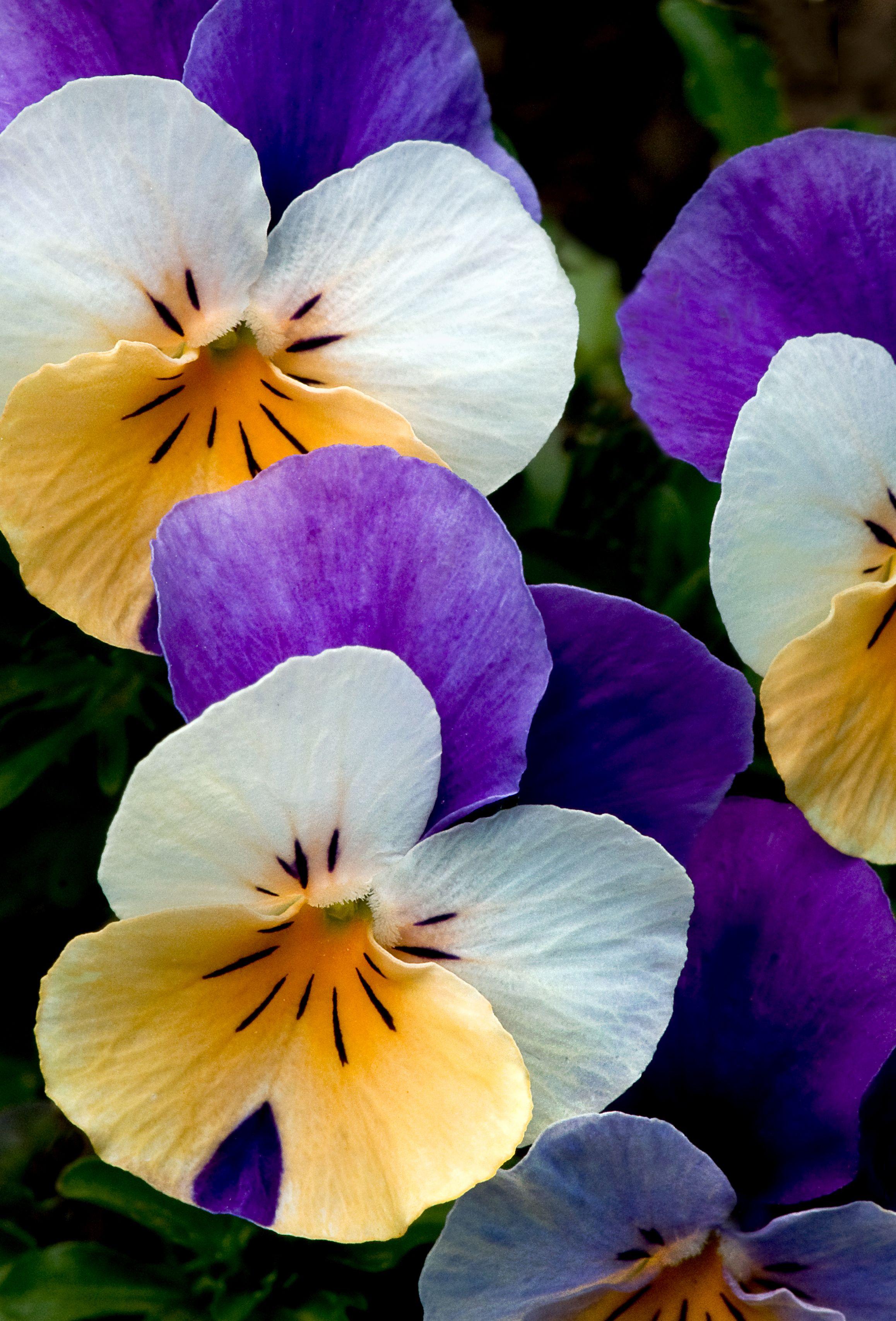 Pansies All Decked Out In Their Lsu Colors Pansies Flowers Pansies Beautiful Flowers