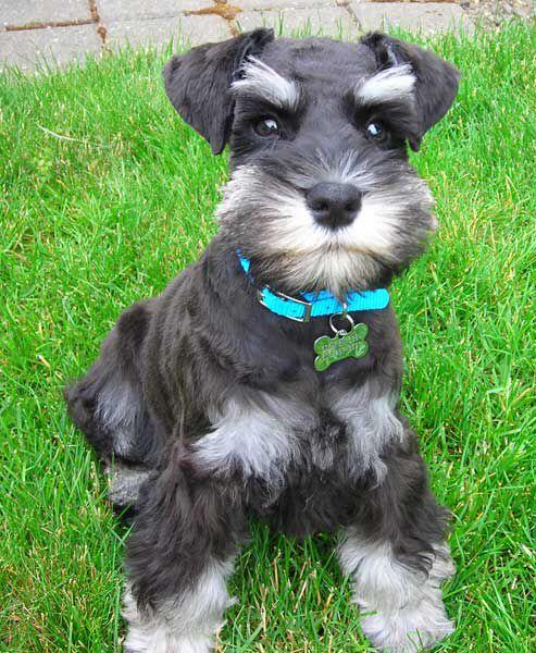 Schnauzer Puppy Schnauzer Grooming Schnauzer Puppy Miniature Schnauzer