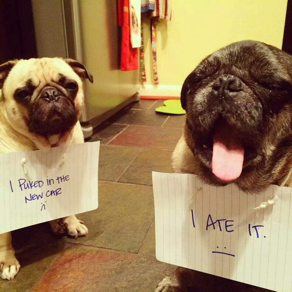 Their Faces Are Perfect Pug Pics Pug Puppies Pet Pug Funny Dogs