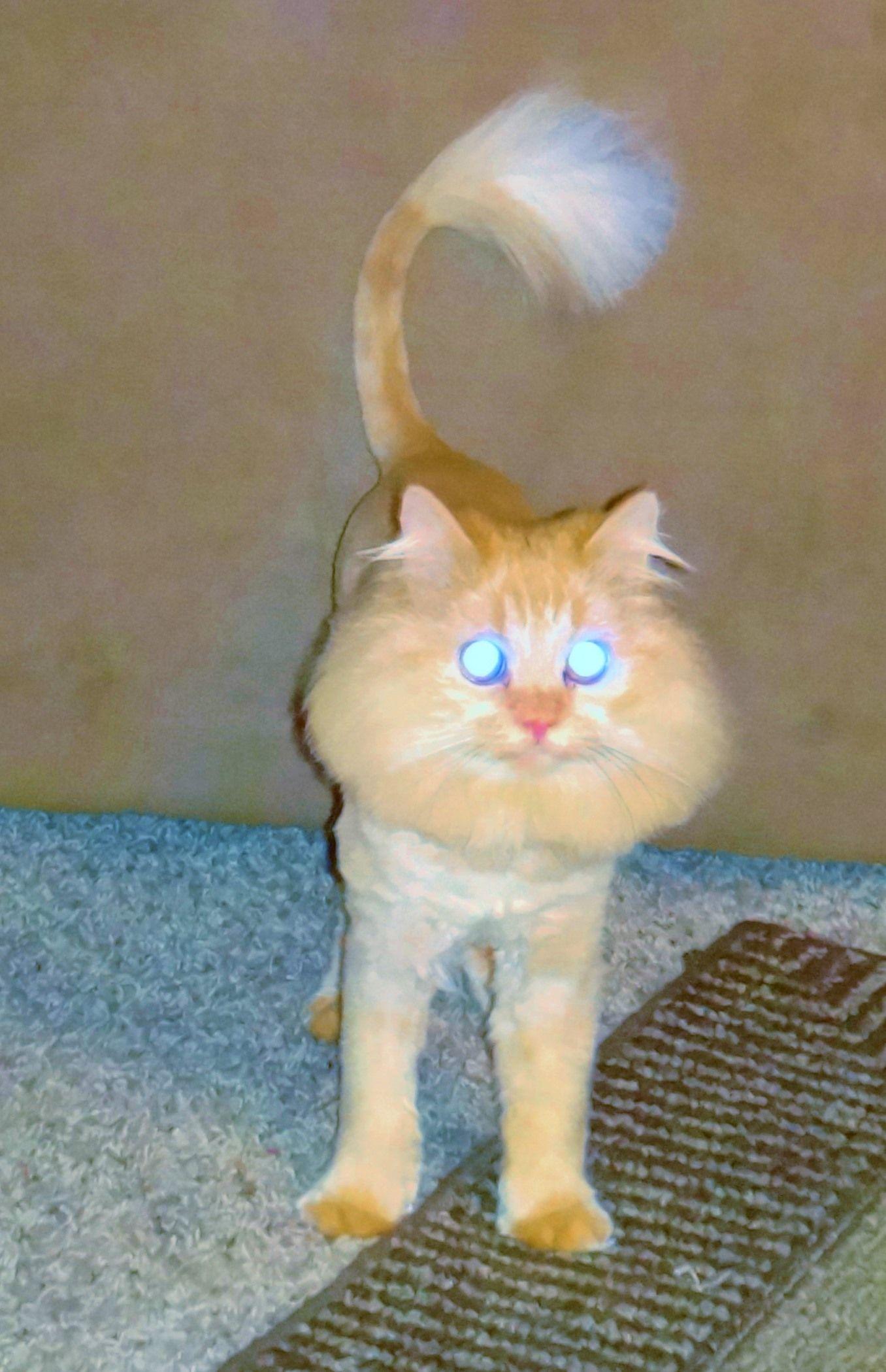 Persian Cat Lion Cut : persian, Haircut, Bear,, Dollface, Persian, Cats,
