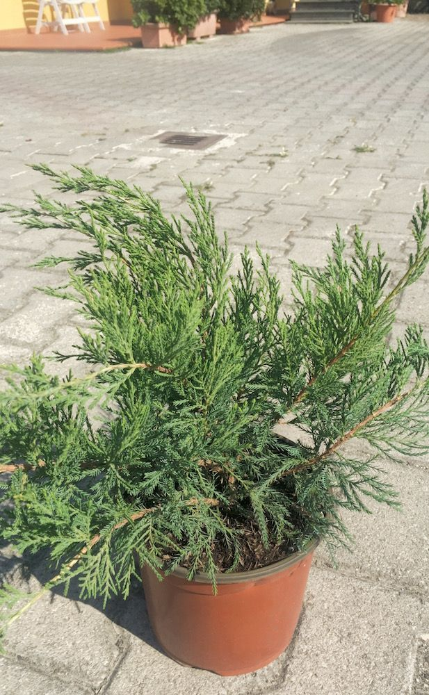 Juniperus Green Verde Vaso 3l Piante Vivaio