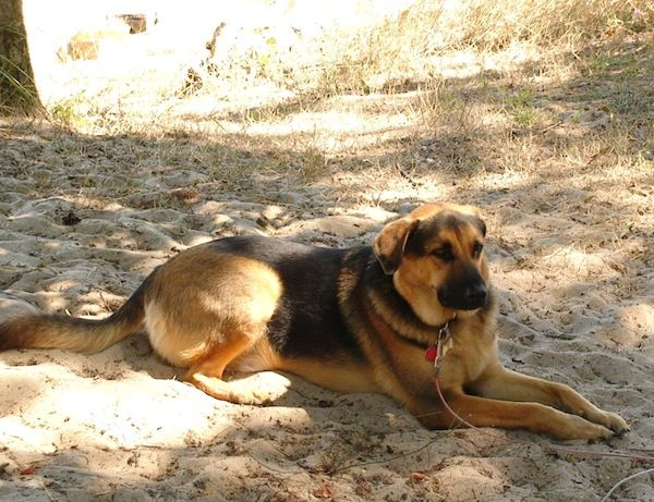 Download Floppy Ears Brown Adorable Dog - 07e9d7e2cae65b496249b449fa04bd3a  Pic_155490  .jpg