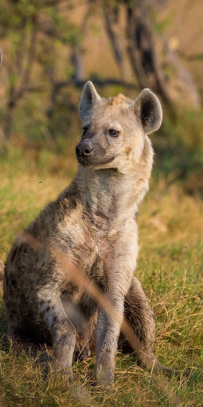 Image of: Animal Planet Why Hyena Is The Most Misunderstood Wild Animal animals facts hyena Pinterestca Why Hyena Is The Most Misunderstood Wild Animal Wildlife In All