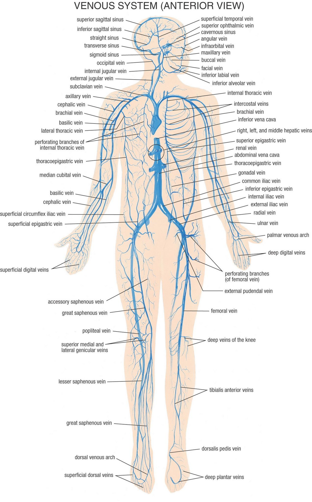 Anatomy Pictures   טבע הריפוי   Pinterest   Anatomy, Medical and ...