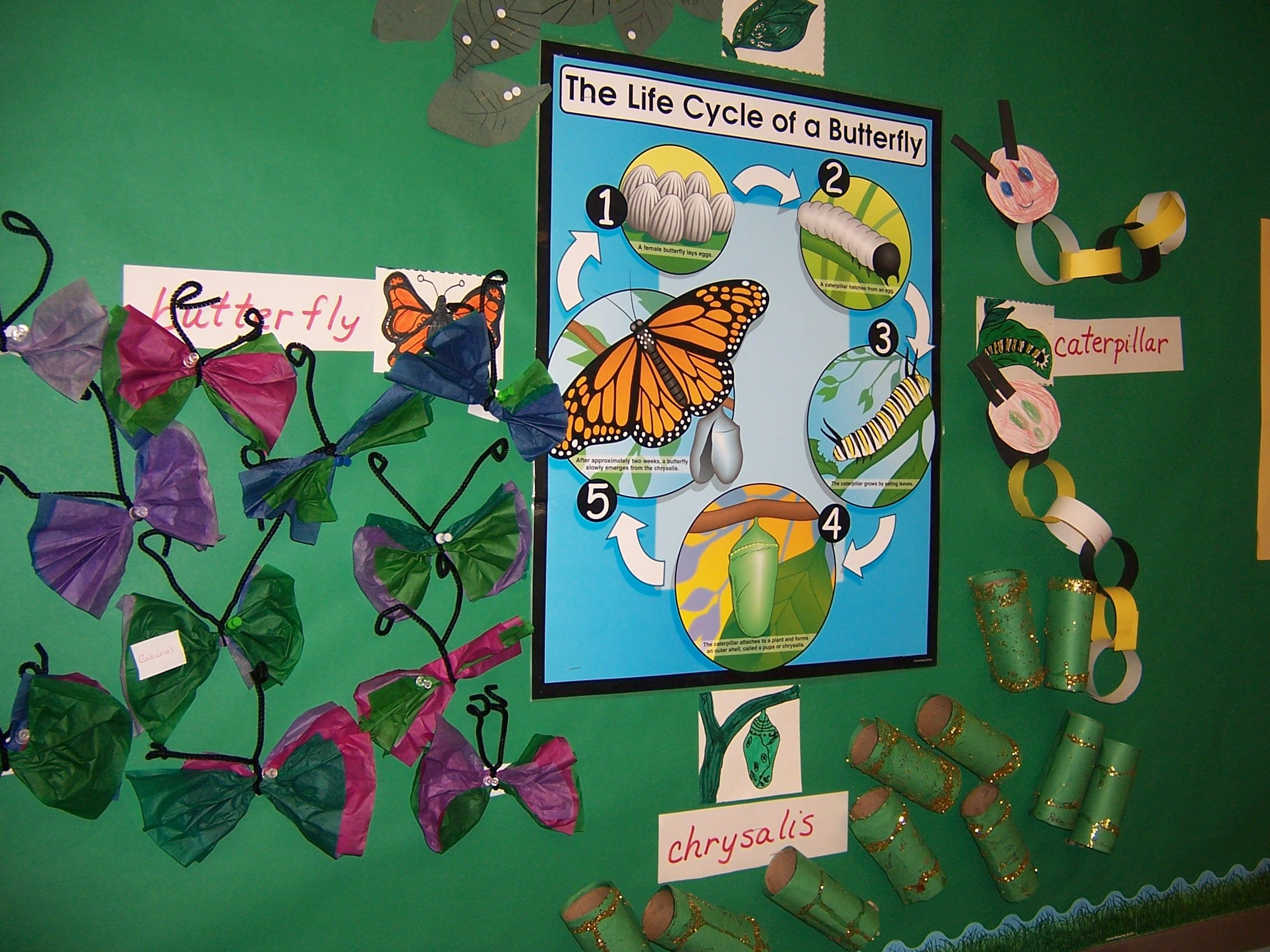 Butterfly Life Cycle - -school Science Bulletin