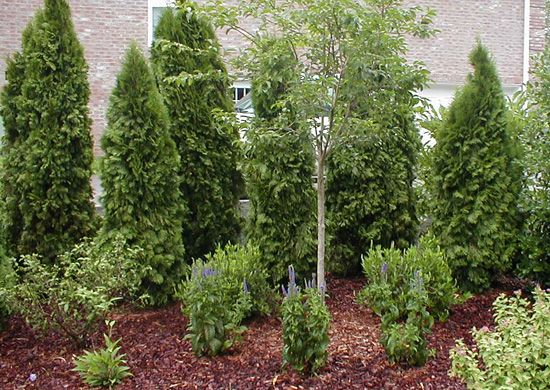 Creating landscape privacy for the convenience home home for Arborvitae garden designs