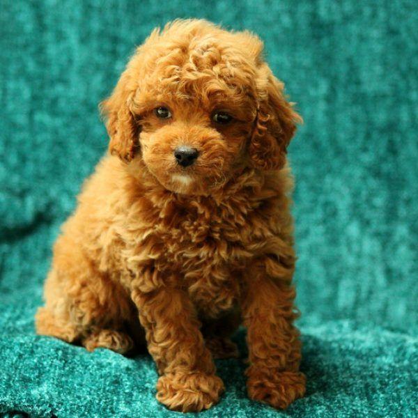 Sadie English Bulldog Puppy For Sale In Pennsylvania Cavapoo