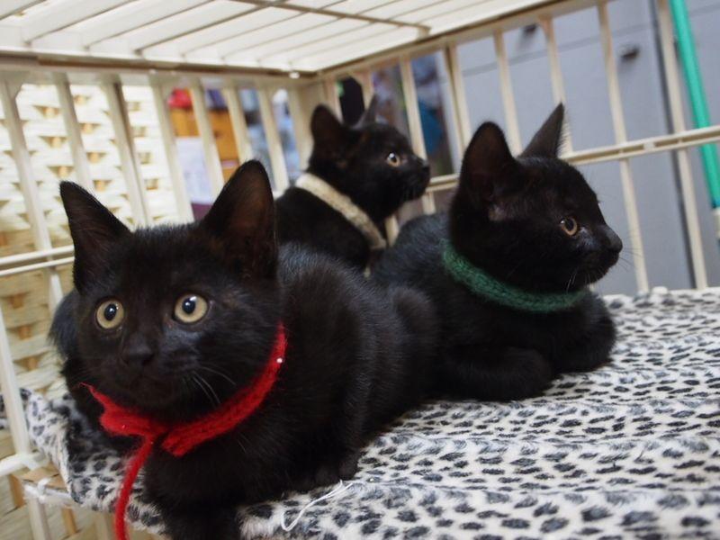 やんちゃカワイイ黒チビー 東京都 猫の里親募集 180073 ペットのおうち 月間利用者150万人 ペット用品 里親 猫