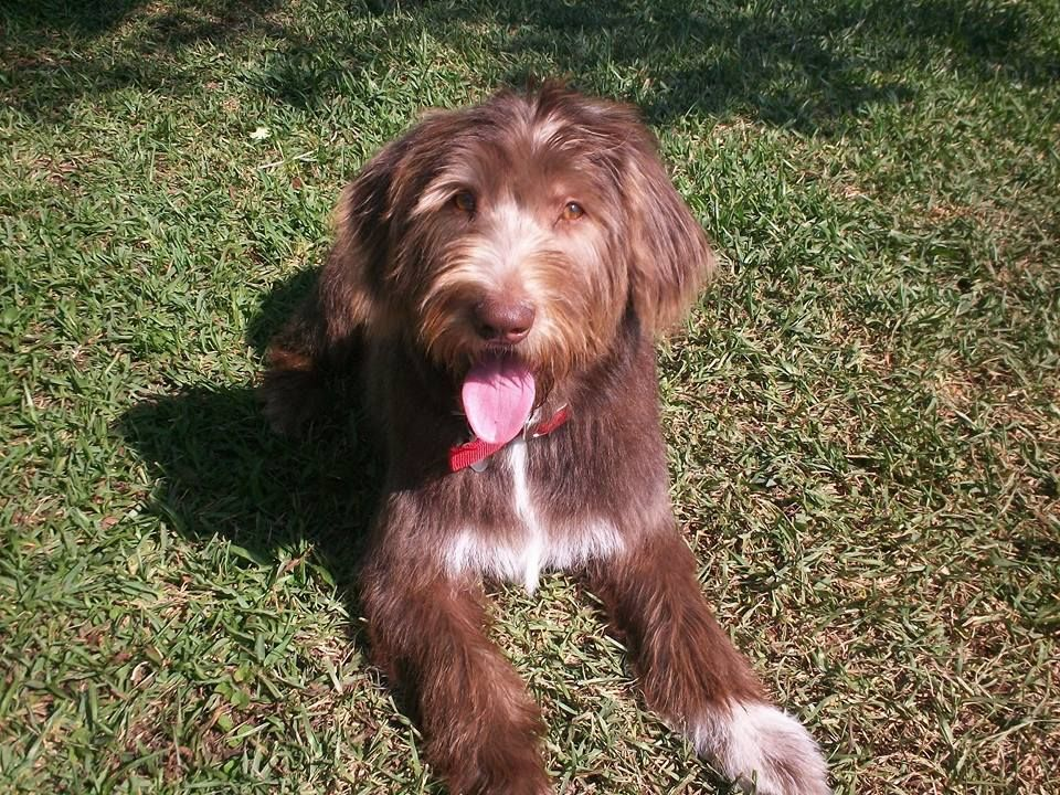 F1 Chocolate Parti Labradoodle With Wavy Hair At 8 Months After