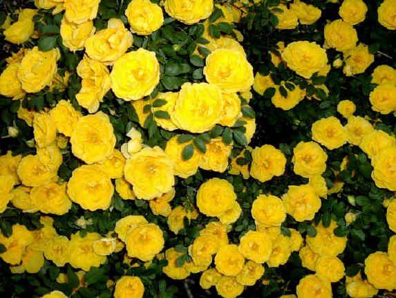 So Many Rose Bush Blossom House Yellow Roses