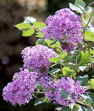Lilac Bloomerang Dark Purple Fall Perennials At Burpee Com Bloomerang Lilac Lilac Bushes Lilac Plant