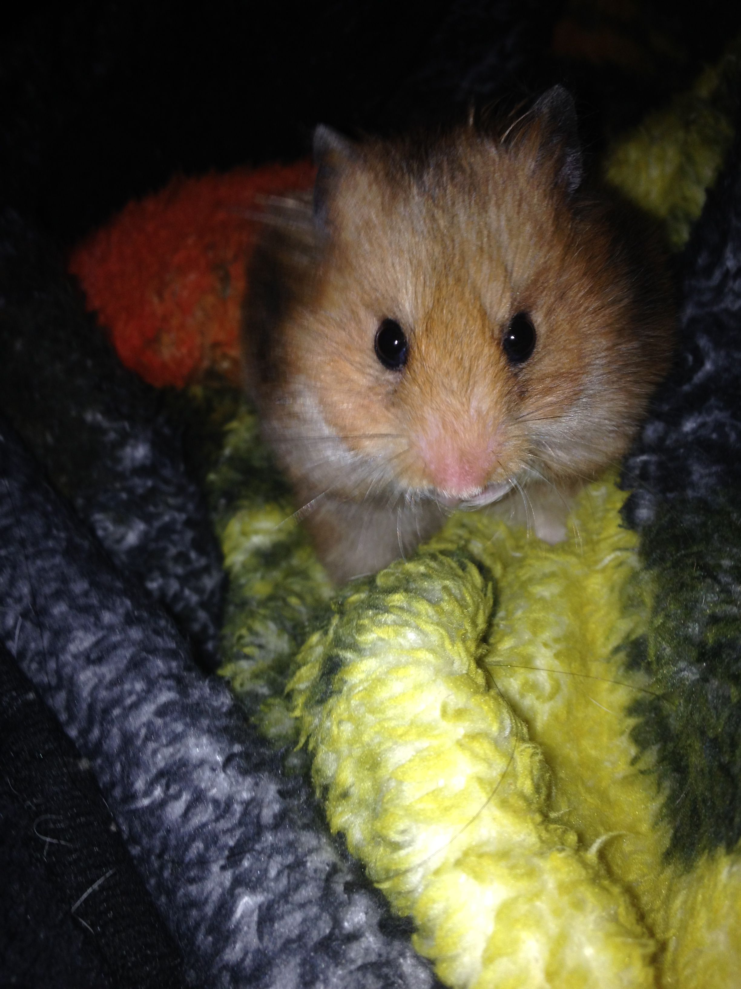 Dabs The Syrian Hamster