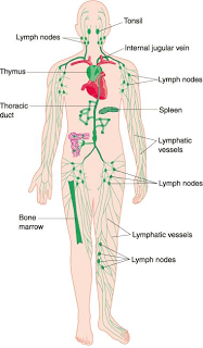 Teaching Anatomy Lymphoid Tissue A Brief Outline Body Diagram Lymphatic System Lymphatic