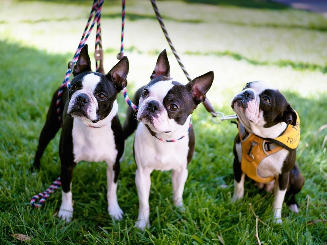 Pin by Coterie Agency on Boston Terriers make me smile