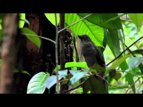 Screaming Piha (Lipaugus vociferans) - Cricrió - YouTube  This video always makes me laugh.