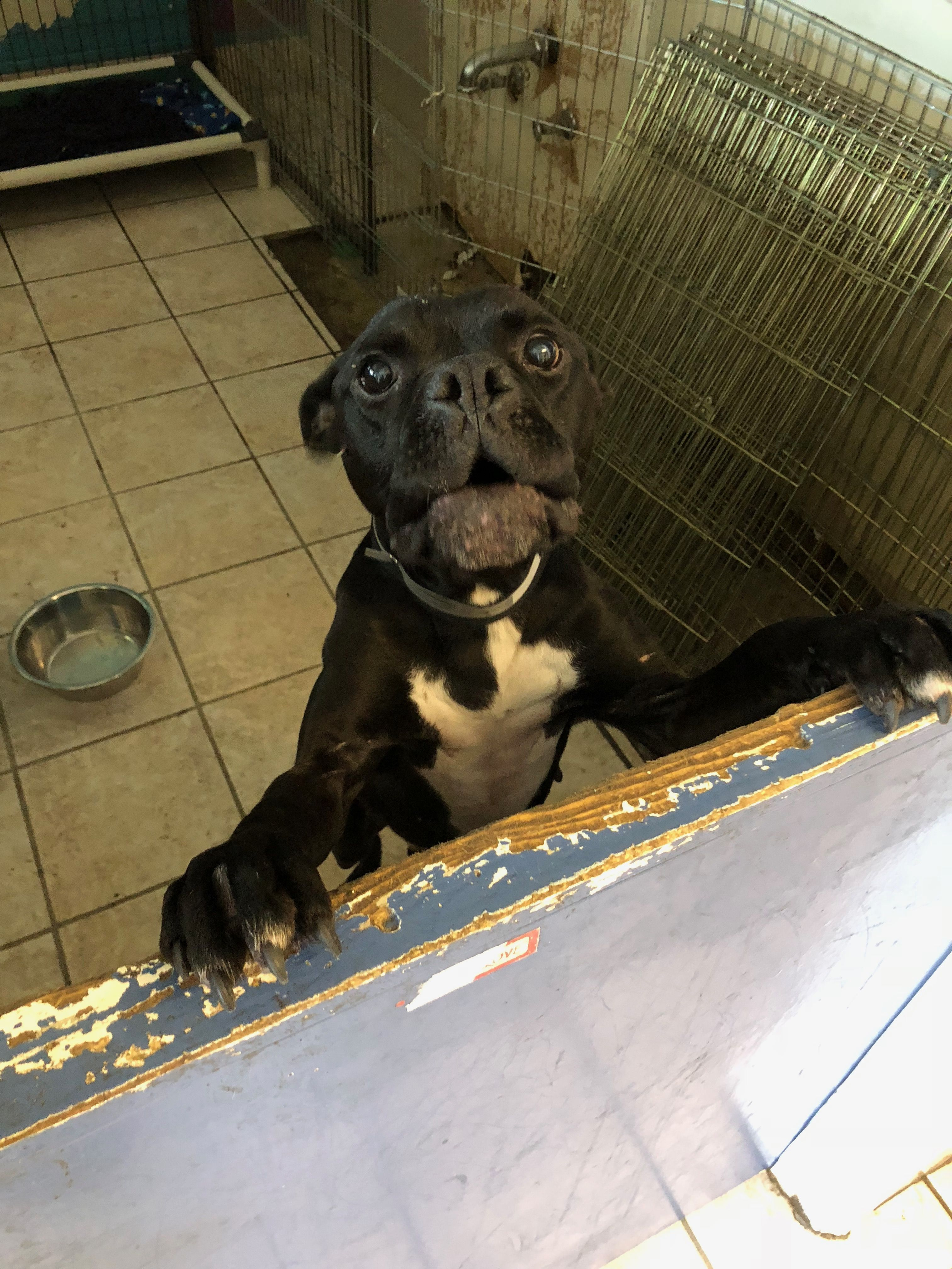 Bullboxer Pit dog for Adoption in San Francisco, CA. ADN