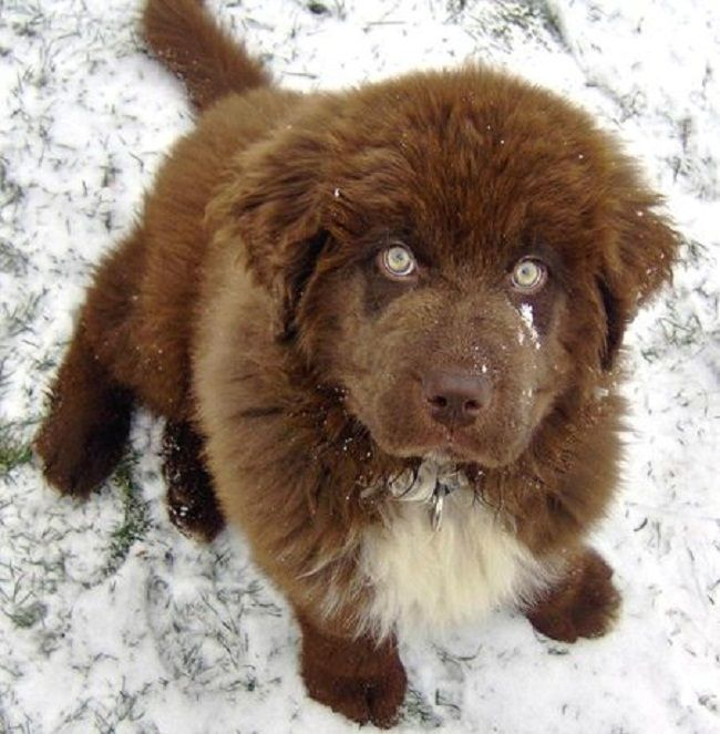 newfoundland dog puppies brown Puppy dog pictures