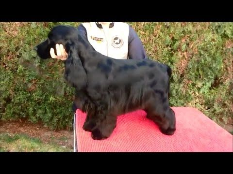 Handstripping And Finishing Techniques Especially Hour Long Video Check Out The Creme Rinse Cocker Spaniel Grooming English Cocker Cocker Spaniel