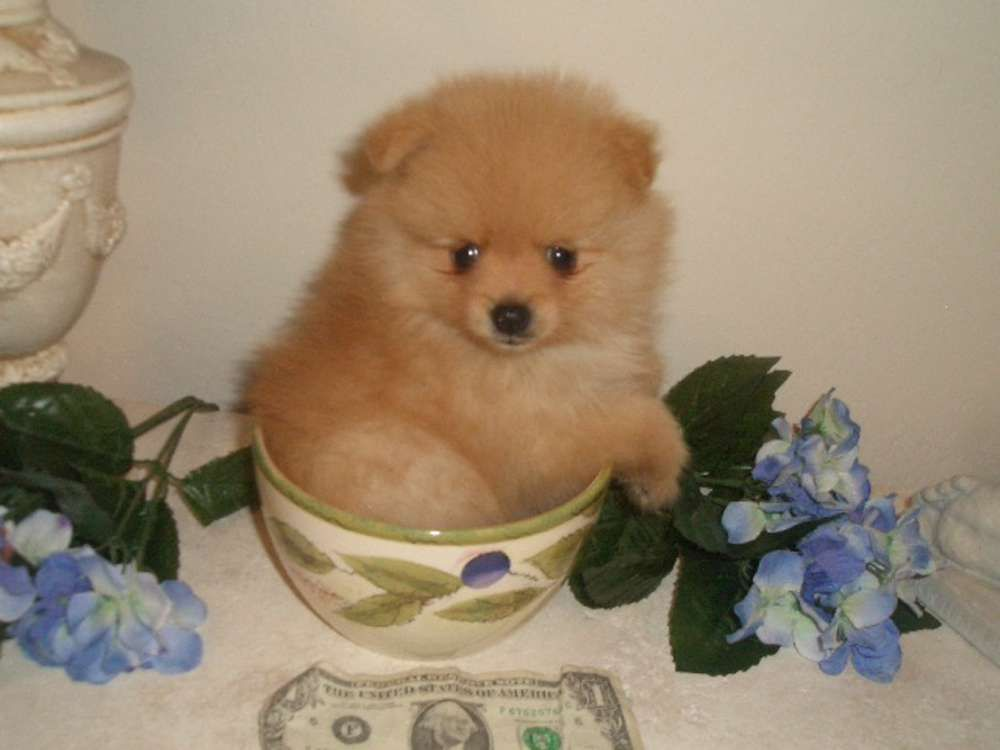Light Brown Teacup Pomeranian 17188 | NOTEFOLIO
