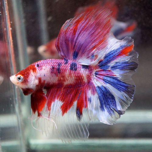 Live Betta Fish Fancy Purple Red Blue Koi Rosetail Male 248