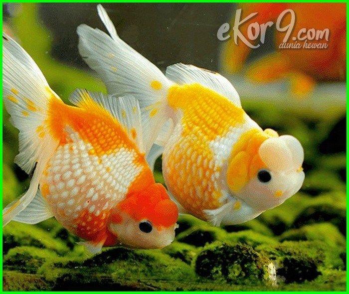 Cara Pemijahan Ikan Mas Koki Di Akuarium Dunia Fauna Hewan Binatang Tumbuhan Ikan Mas Ikan Binatang