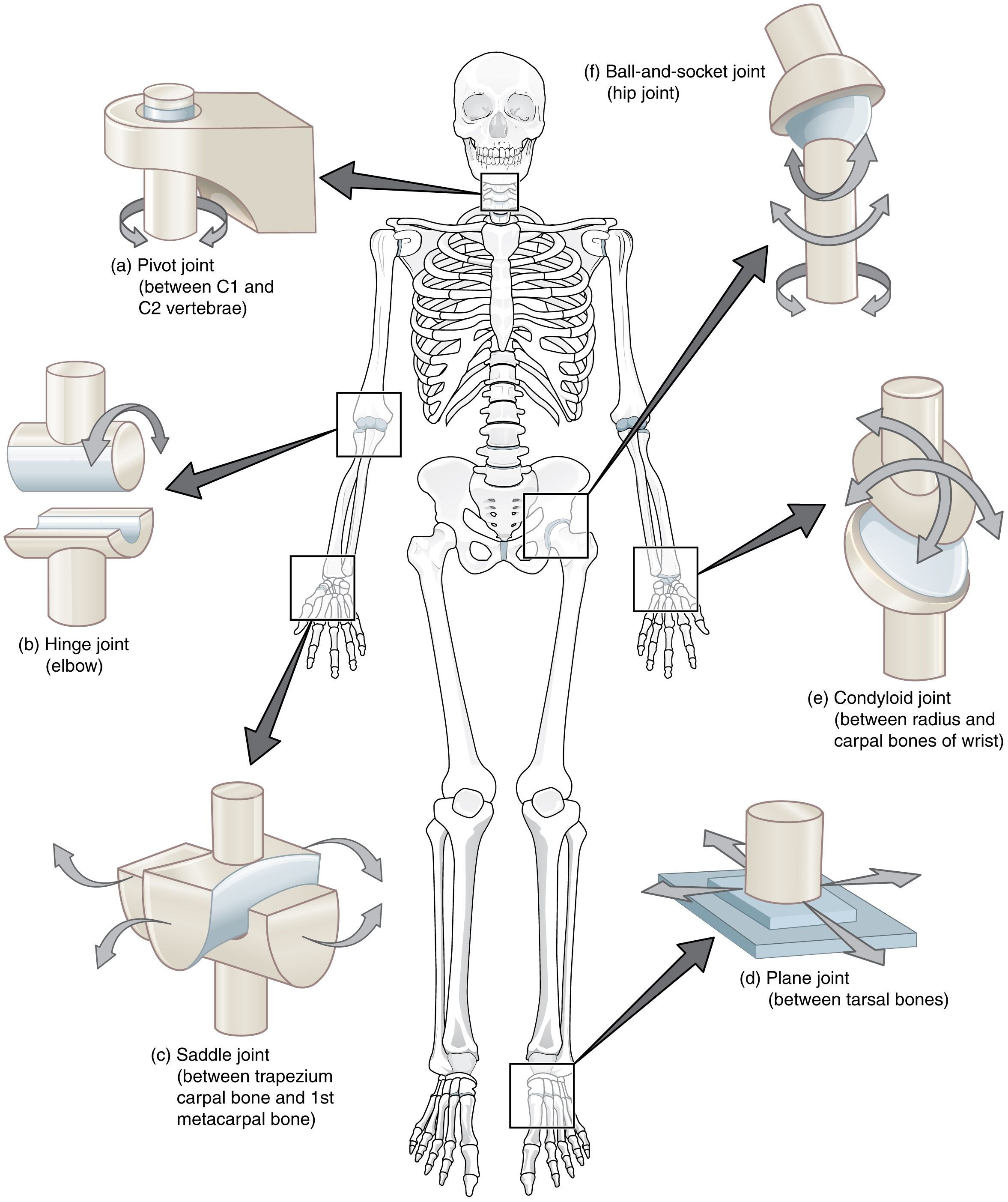 The six types of synovial joints allow the body to move in a variety ...