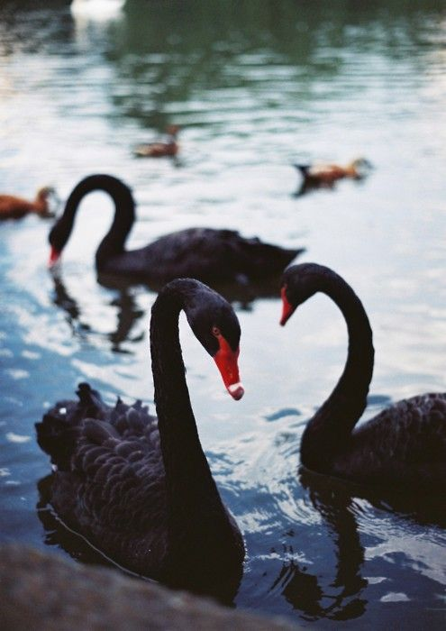 Black swans // so beautiful