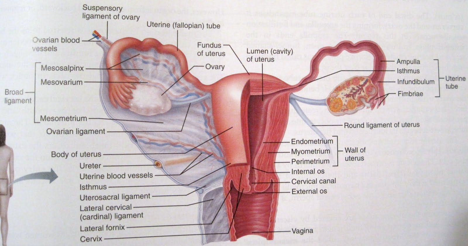 Female Reproductive System Labeled Google Search Female Reproductive System Reproductive System Female Reproductive System Anatomy
