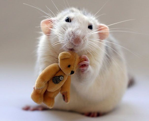 Posing pet rats with teddy bears is a thing? Apparently so, and it's cuter than you'd think [22 pictures]