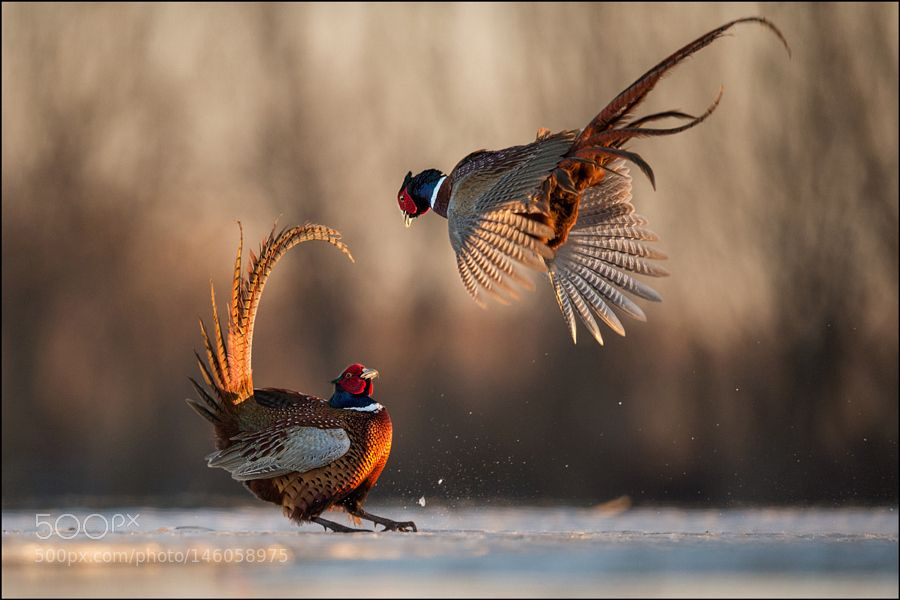 Pheasant by info373 via http://ift.tt/1Mpg6ym