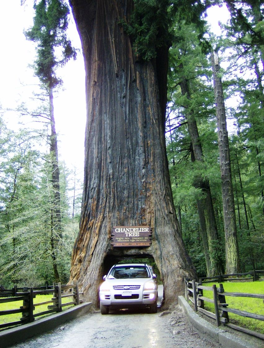 The drive thru tree in legget ca the redwood is called the the drive thru tree in legget ca the redwood is called the chandelier tree arubaitofo Gallery