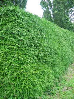 thuja plicata western red cedar hedge privacy screen outdoor in