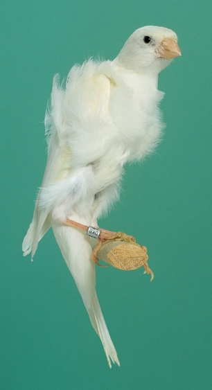Rizado Del Sur Aves Domesticas Exoticas Canarios Pajaros Pajaros Hermosos