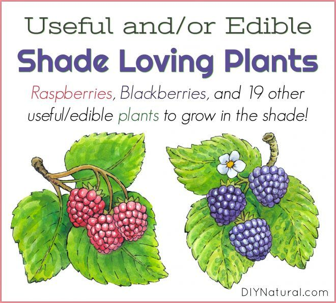 Shade Plants Edible And Medicinal To Plants To Grow In 400 x 300
