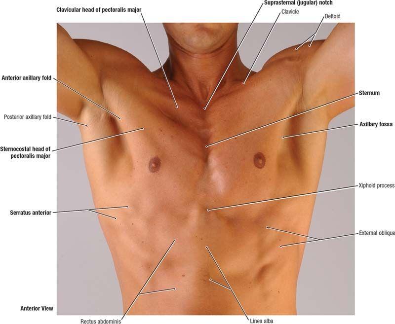 Nursingbuddy.com-Surface-anatomy-of-male-pectoral-region.jpg (800 ...
