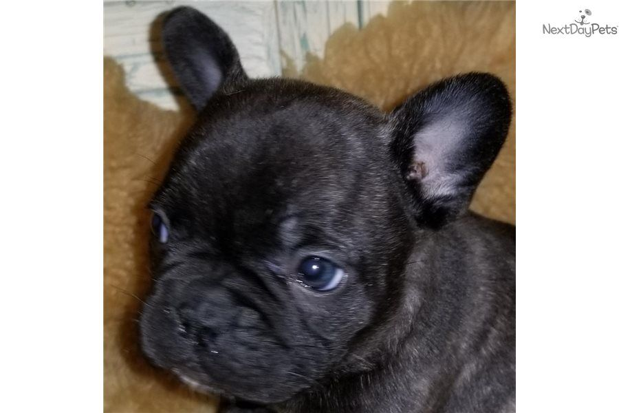 Lokie French Bulldog puppy for sale near Houston, Texas