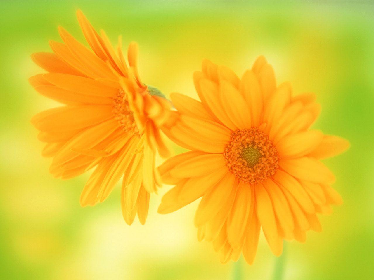 Beautiful paintings yellow daisy beautiful flowers wallpaper beautiful paintings yellow daisy beautiful flowers wallpaper izmirmasajfo