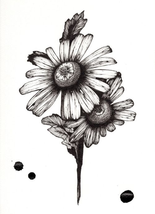 botanical diagram of a common white daisy