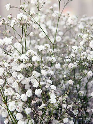 Plants That Can Cause A Rash Everyday Health Baby S Breath Plant Babys Breath Flowers Plants