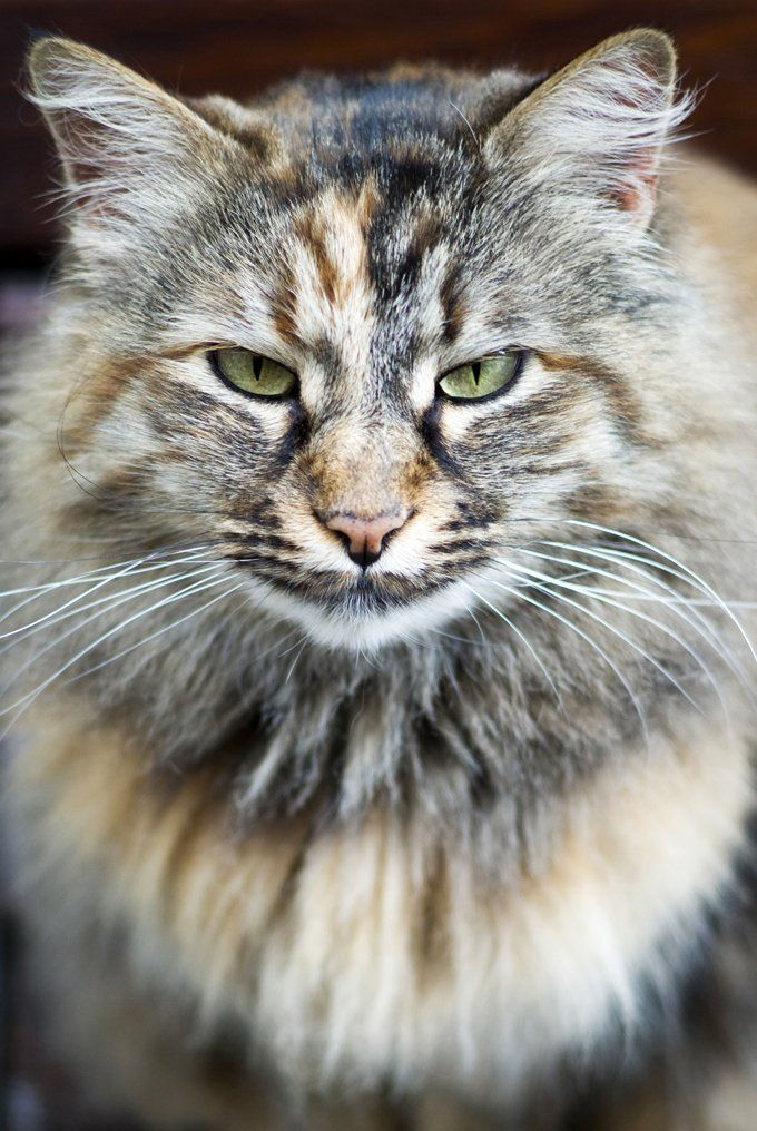 Norwegian Forest Cat Breed Information, Pictures