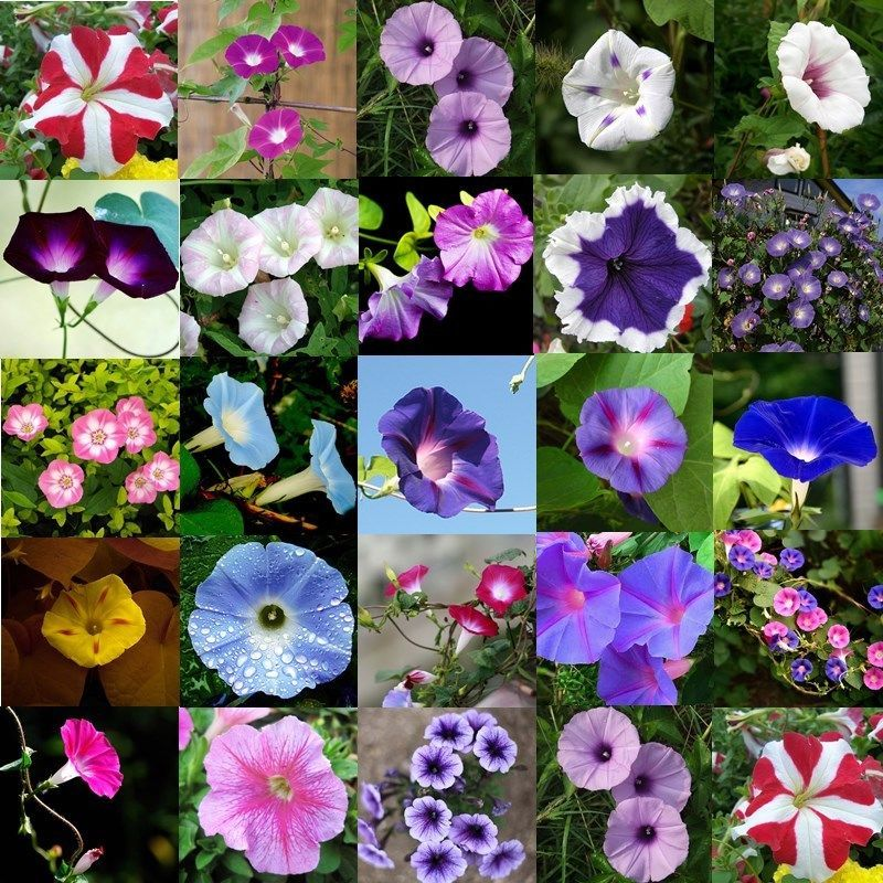 Details About Petunia Hybrida Hanging Flower Garden Home Decor Trailing Petunia Seeds 60pcs Flower Seeds Flowers Perennials Trailing Petunias